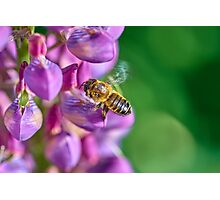 Bee descending on a lupin Photographic Print
