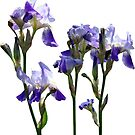 Group of Purple Irises by Susan Savad