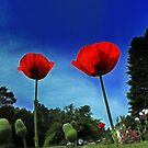 Poppies and Blue Skies by Nazareth