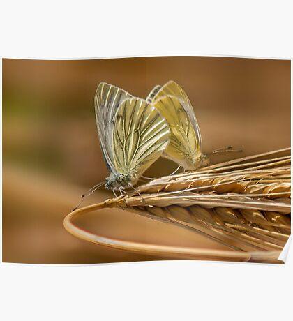 Green Veined White Butterflies Poster