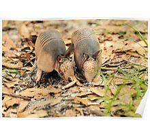 Two Baby Armadillo's (Dasypus novemcinctus) Poster