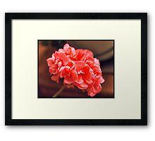 Sarah's Geranium Framed Print