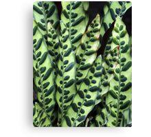 Rattlesnake Plant Canvas Print