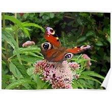 Butterfly Peacock Poster