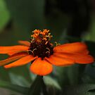 Orange Zinnia~ by virginian