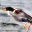 Fast Mallard Icy Landing by JohnYoung