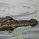Alligator by virginian