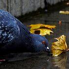 Thirsty Pigeon by Jessica Liatys