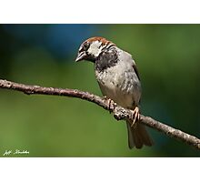 Male House Sparrow Perched in a Tree Photographic Print
