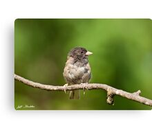 Dark Eyed Junco Canvas Print