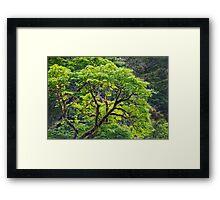 Oregon Vine Maple - Spring Leaves Framed Print