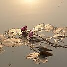 Water Lillies on Siem Reap river by Glen Ladegaard AUSTRALIA