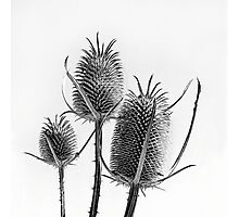 Teasel trio Photographic Print
