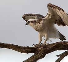 Power- Osprey  by mncphotography