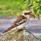 Currarong Kookaburra by Michael Matthews
