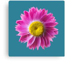 Pink Everlasting Flower Canvas Print