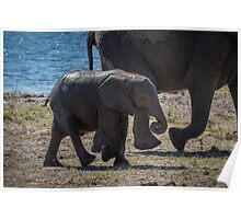 Baby elephant walking with mother beside river Poster