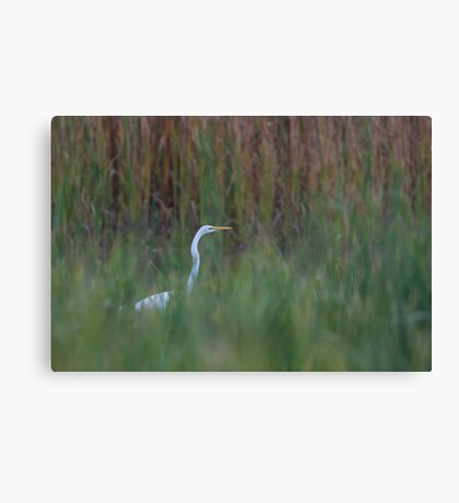 Great Egret amongst the reeds Canvas Print