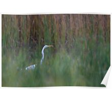 Great Egret amongst the reeds Poster