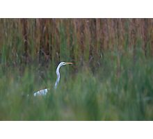 Great Egret amongst the reeds Photographic Print