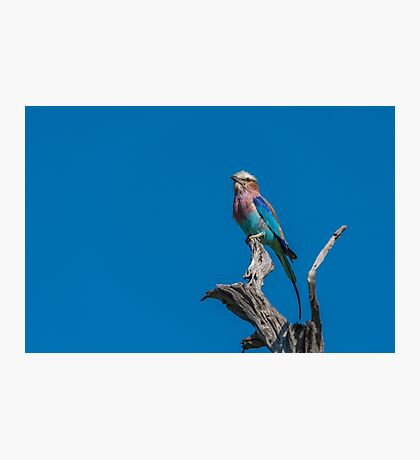 Lilac-breasted roller looking up from dead branch Photographic Print