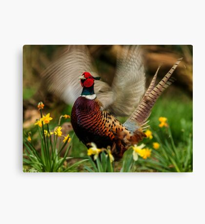 Male Ring-necked Pheasant Crowing amongst Daffodil Canvas Print