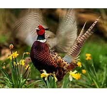 Male Ring-necked Pheasant Crowing amongst Daffodil Photographic Print