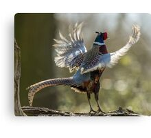 Male Ring-necked Pheasant Crowing Canvas Print