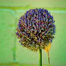 Lavender Bloom by Rick  Friedle