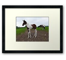 Pinto foal with grazing mare Framed Print