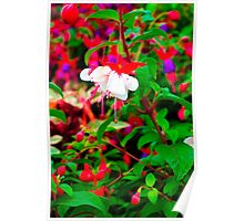 White Fuchsias With Pink Tongues Poster