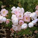 Classic Roses by Susan Vinson