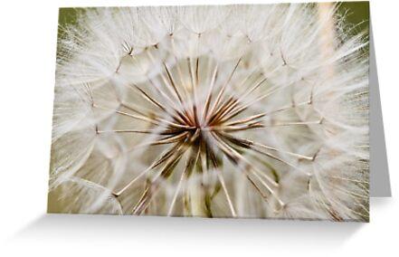 Dandelion by Jen Wahl