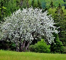 Wild Apple Tree in Bloom II by Kathleen Daley