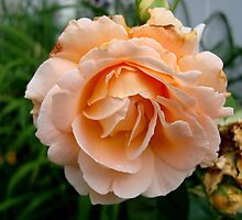 A Rose is a Rose by Michiale