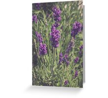 Lavender Blooming Greeting Card
