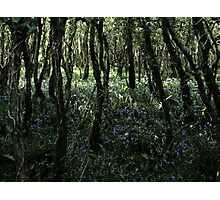 Bluebells in Bloom Photographic Print