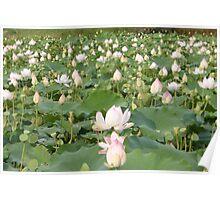 Lotus blossom field Siem Reap Poster