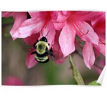 Bee on Pink Azalea Poster