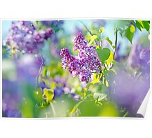 Green branch with spring lilac flowers Poster