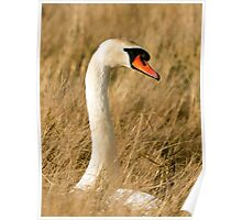 Beautiful Female Mute Swan Portrait Poster