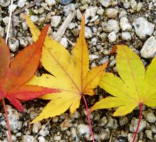 Maple leaves at different colours of autumn Sticker