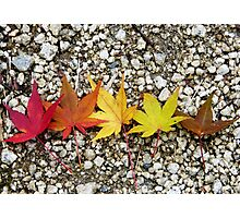 Maple leaves at different colours of autumn Photographic Print