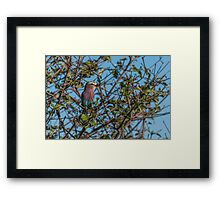 Lilac-breasted roller perched in leafy bush Framed Print