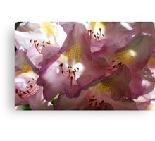 Rhododendron Blossoms - Soft Afternoon Light Canvas Print