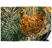 Date palm Poster