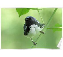 Black-throated Blue Warbler Poster