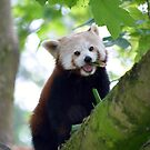 red panda on tree branch by morrbyte