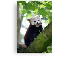 red panda on tree branch Canvas Print