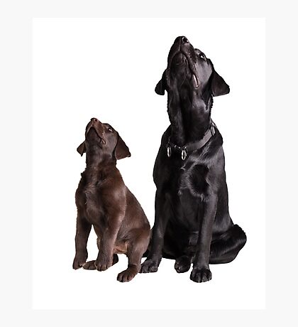 Labrador retriever puppies Photographic Print